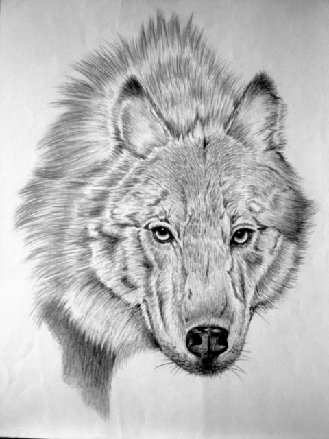Wild Animal Sketches Wild Animal Drawings on