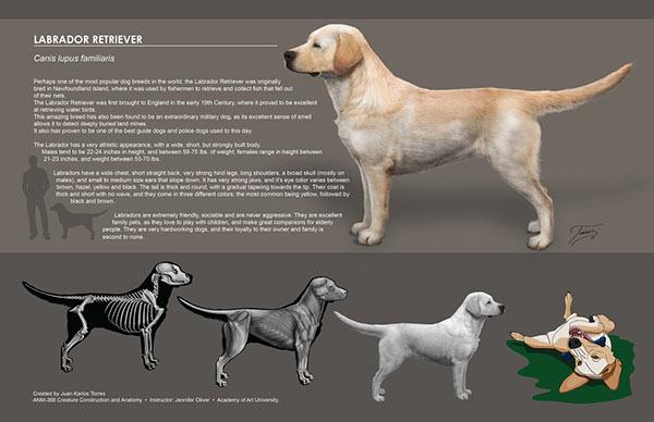 Labrador Retriever On Behance