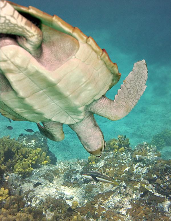 Loggerhead sea turtle Turtle caretta marine wildlife endangered species infographics scientific illustration