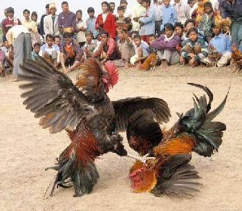 Image result for rooster fight illustration