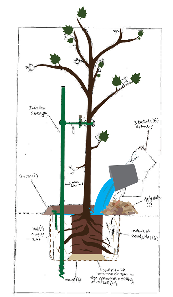 How to plant your tree infographic on wacom gallery - Fir tree planting instructions a vigorous garden ...
