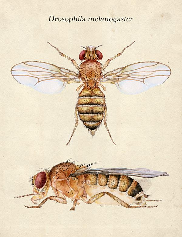 Drosophila melanogaster on Behance