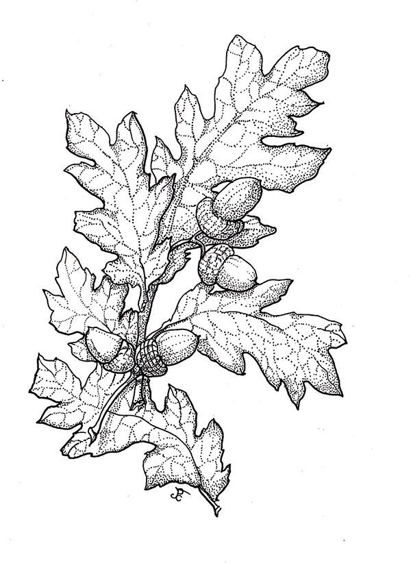 Crataegus Monogyna Drawing Crataegus Monogyna