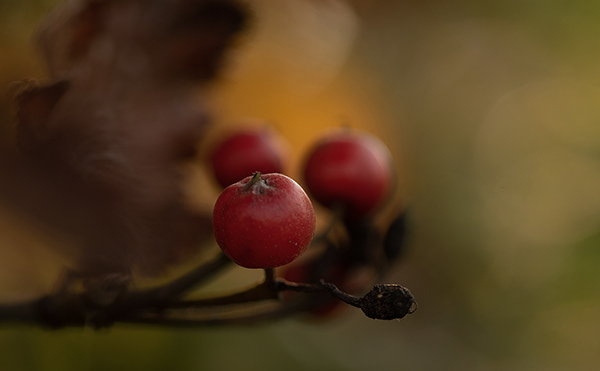 Rose hips and the crow