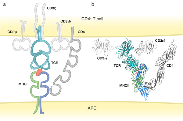 Mapping the B cell superantigen binding site for HIV-1 ...