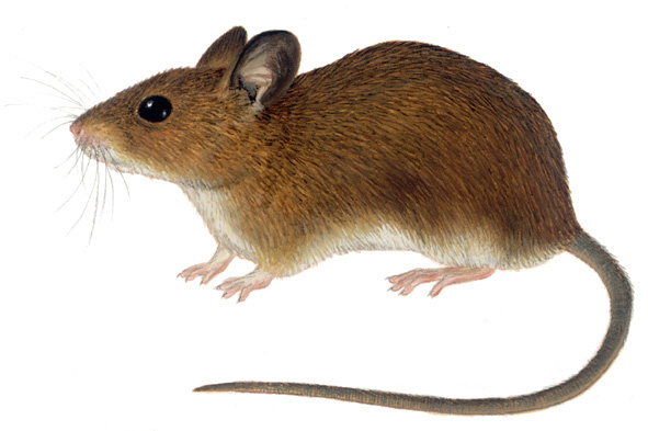 Field mouse animal - photo#17