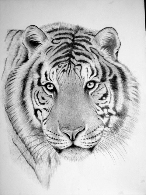Wild Animal Drawings on Behance