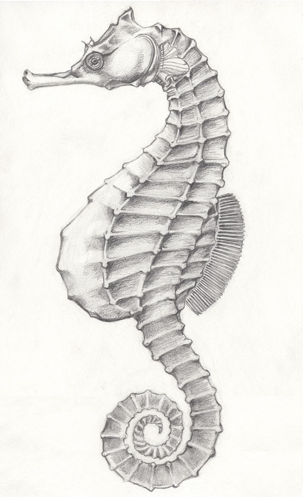 Pot Bellied Seahorse On Behance