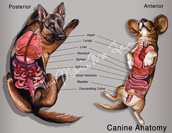 Anatomy of dog stomach