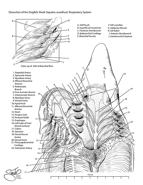 Respiratory System of the Dogfish Shark on Behance