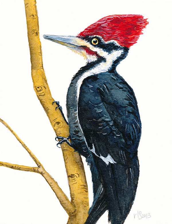 Pileated Woodpecker Drawing Birds on Behance