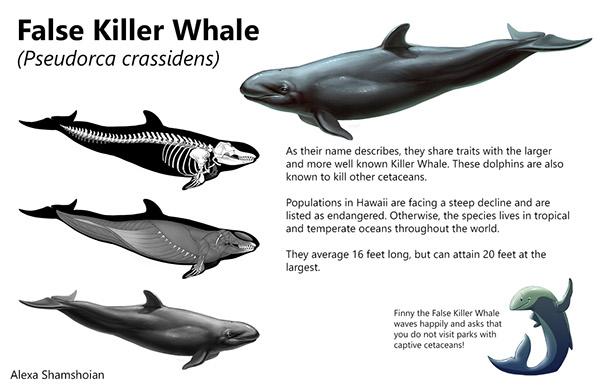 Anatomy of a killer whale