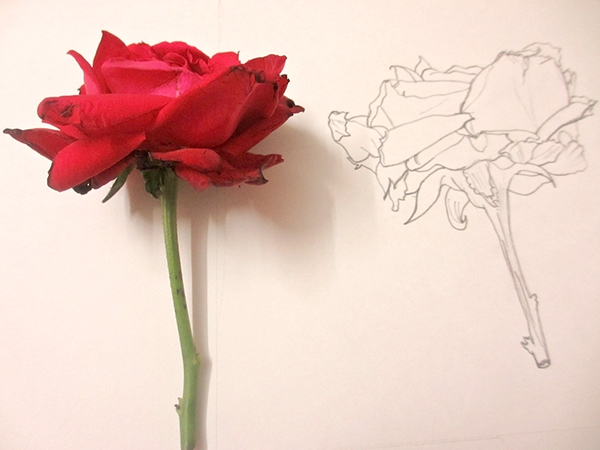 Line Drawing Of Rose Plant : Rose line drawing on pantone canvas gallery