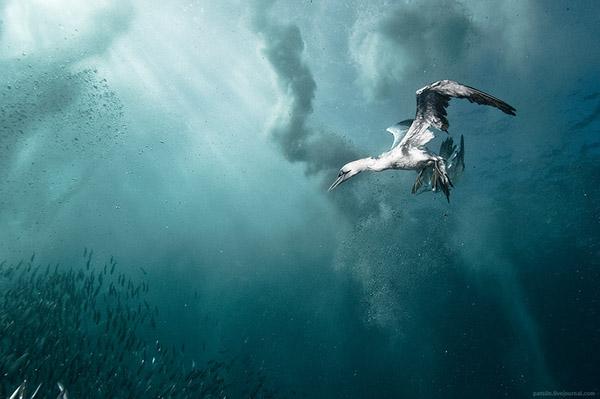 underwater  diving cape gannets bait ball south africa underwater photo birds sardine run wild coast