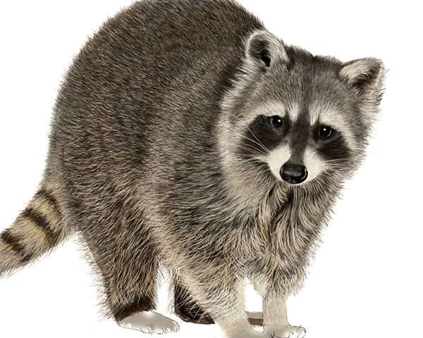 Line Drawing Raccoon : Raccoon digital drawing on behance