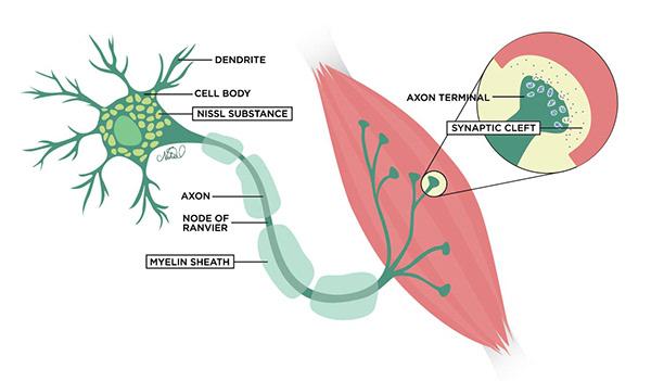 Neuron, Muscle, & NMJ - Medical Illustration