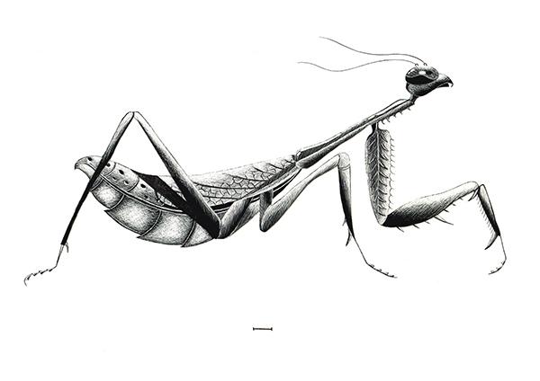 Praying Mantis Scientific Drawing Praying Mantis Scientific