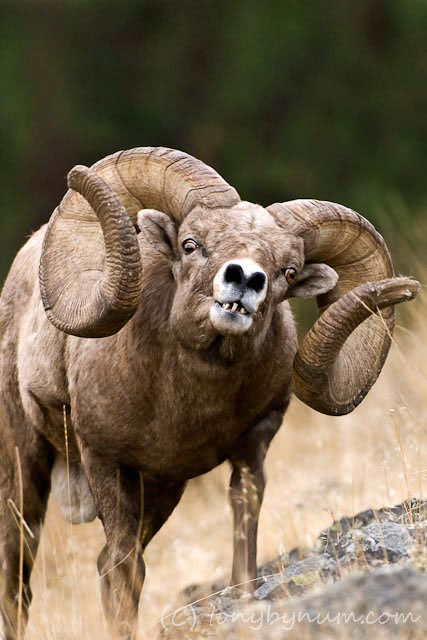how to catch wild sheep