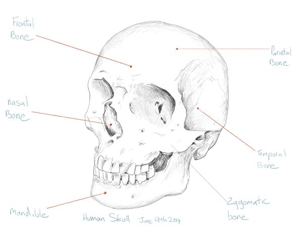 Frontal Bone Diagram