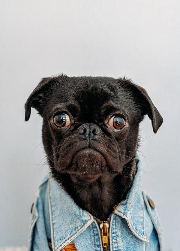 Pes v riflové bundě