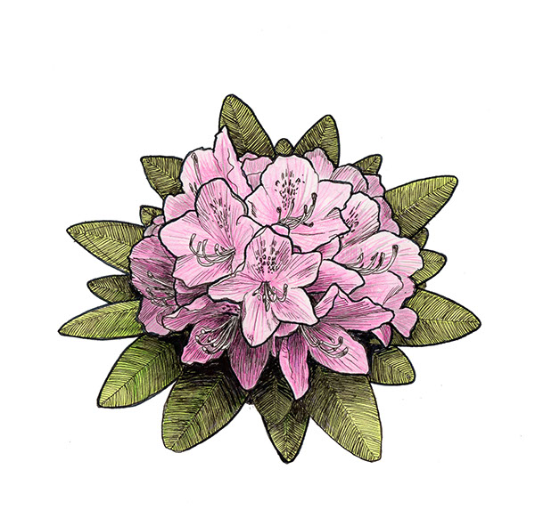 Pink Rhododendron Drawing Rhododendron Logo on Behance