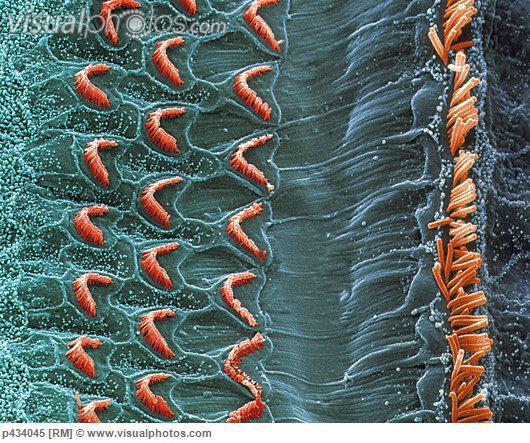 Cellular Environment: Organ of Corti (Inner Ear)