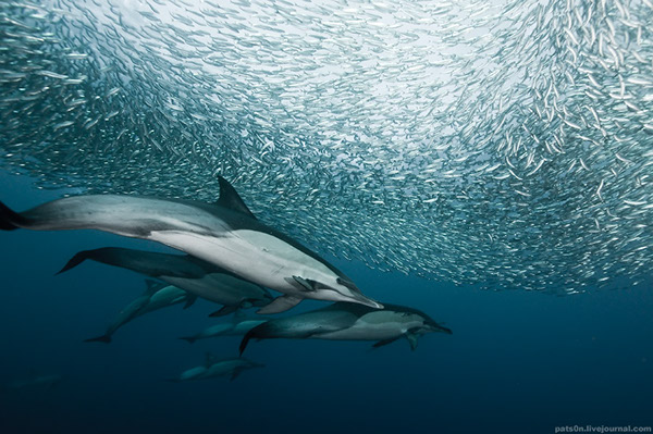 Dolphins sharks bait ball south africa underwater photo underwater diving