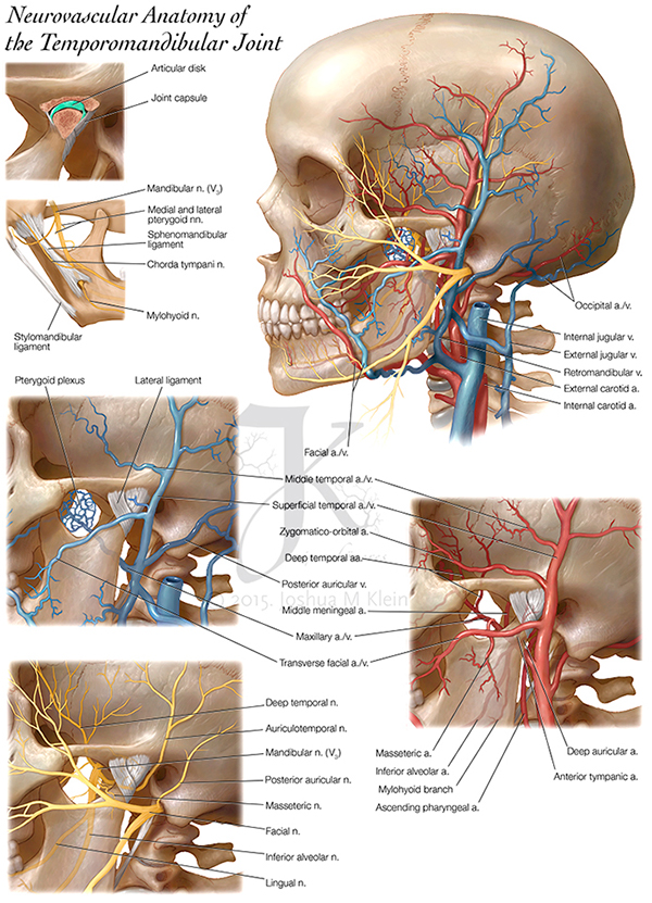 neurovascular anatomy of TMJ on Behance