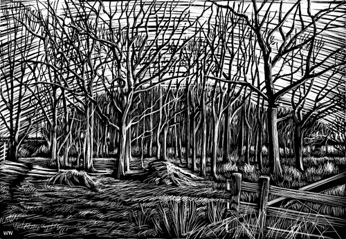 Norfolk trees in scraperboard