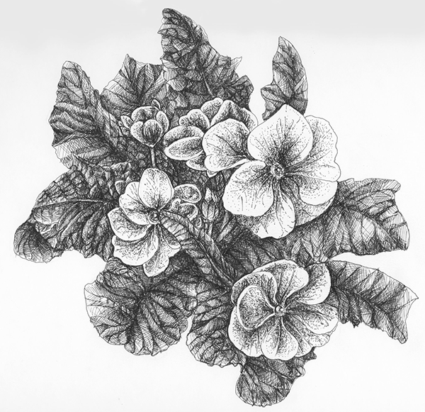 Primrose: Scientific Illustration on Behance