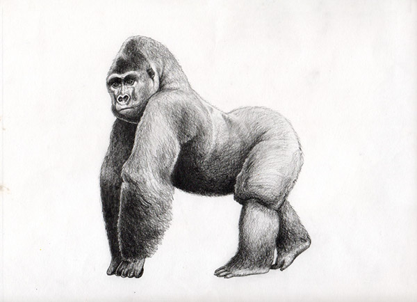Scientific illustration: Gorilla on Behance