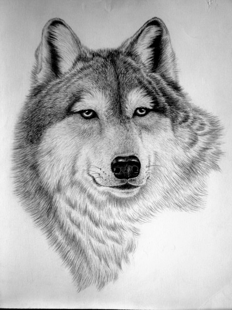 Wild Animal Sketches Wild Animal Drawings Sketch