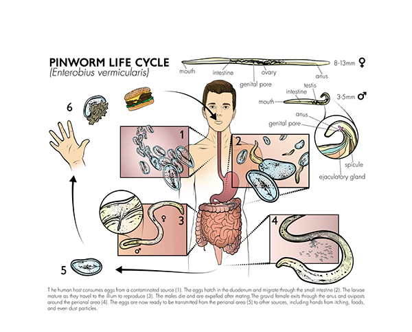 Pinworm Life Cycle Plate On Behance