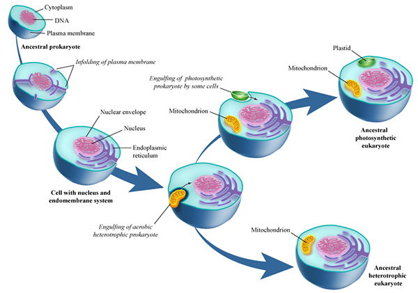 endosymbiotic theory in eukaryotic cells Bacteria are one of the oldest single-cell organisms, they contain a circular dna and no organelles both the mitochondria and chloroplasts were suggested, through evidence, to once be bacteria cells and this is furthermore described in the 'endosymbiotic theory.