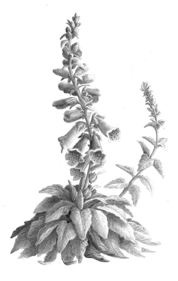 botanical illustration foxglove greyscale on behance
