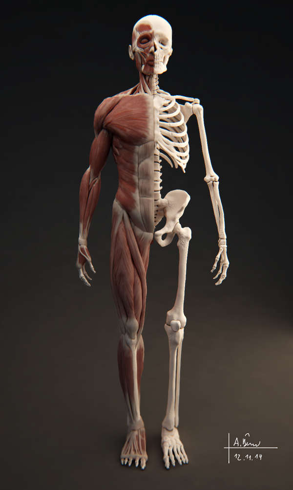 human muscular system Supporting, balancing, and propelling the body is the work of the muscular system of the legs and feet from the large, strong muscles of the buttocks and legs to the.