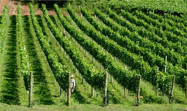 vinhedos uvas Vineyards grape