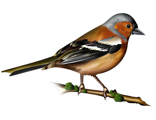 Bird illustrations on behance for Birds project