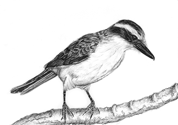 Birds - pencil drawings on Behance