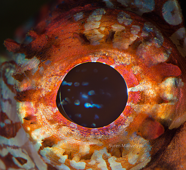 Animal Eyes,animal,eye,fish,crocodile,SCORPIONFISH,puffer,macro,close-up,iris,wild,Ocean,sea