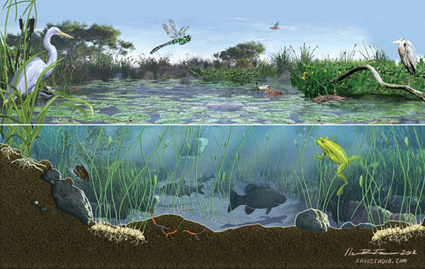 Ocean Ecosystem Drawing a Thriving Pond Ecosystem
