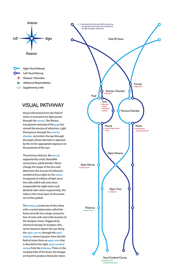 Visual Pathway Poster on Behance