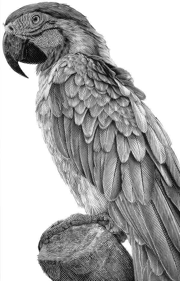 parrot drawings drawing bird parrots illustration animal animals sketches pencil tattoo behance illustrations realistic macaw birds dibujos charcoal cool animales