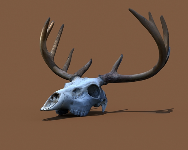 Animal Anatomy Study - Deer Skull on Behance