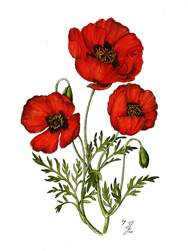 Red Flower Line Drawing : Red poppy drawing