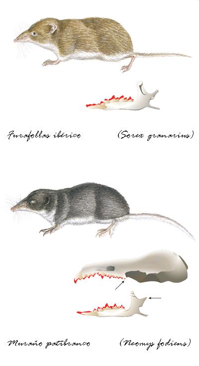 baía edicións Guía dos mamíferos de Galicia  Calros Silvar  Insectívoros Galice insectivorous mammals guide