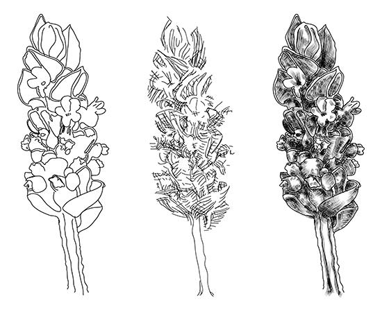 laventer flower illustration on behance