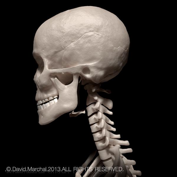 Human Skeleton On Behance