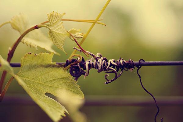 Vineyards Wines wine leave wine flower