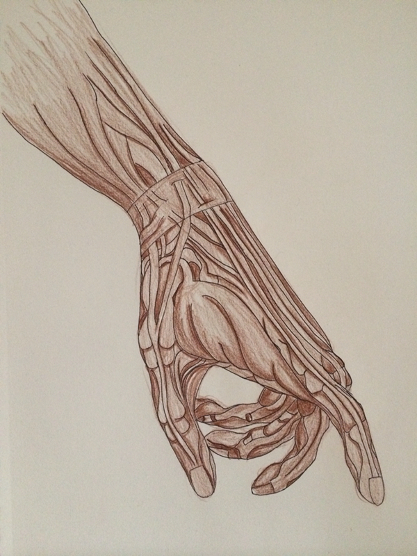 anatomy muscles ILLUSTRATION  lines